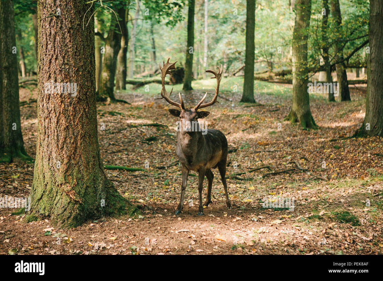 A beautiful wild deer with horns in the autumn forest among the trees - Stock Image