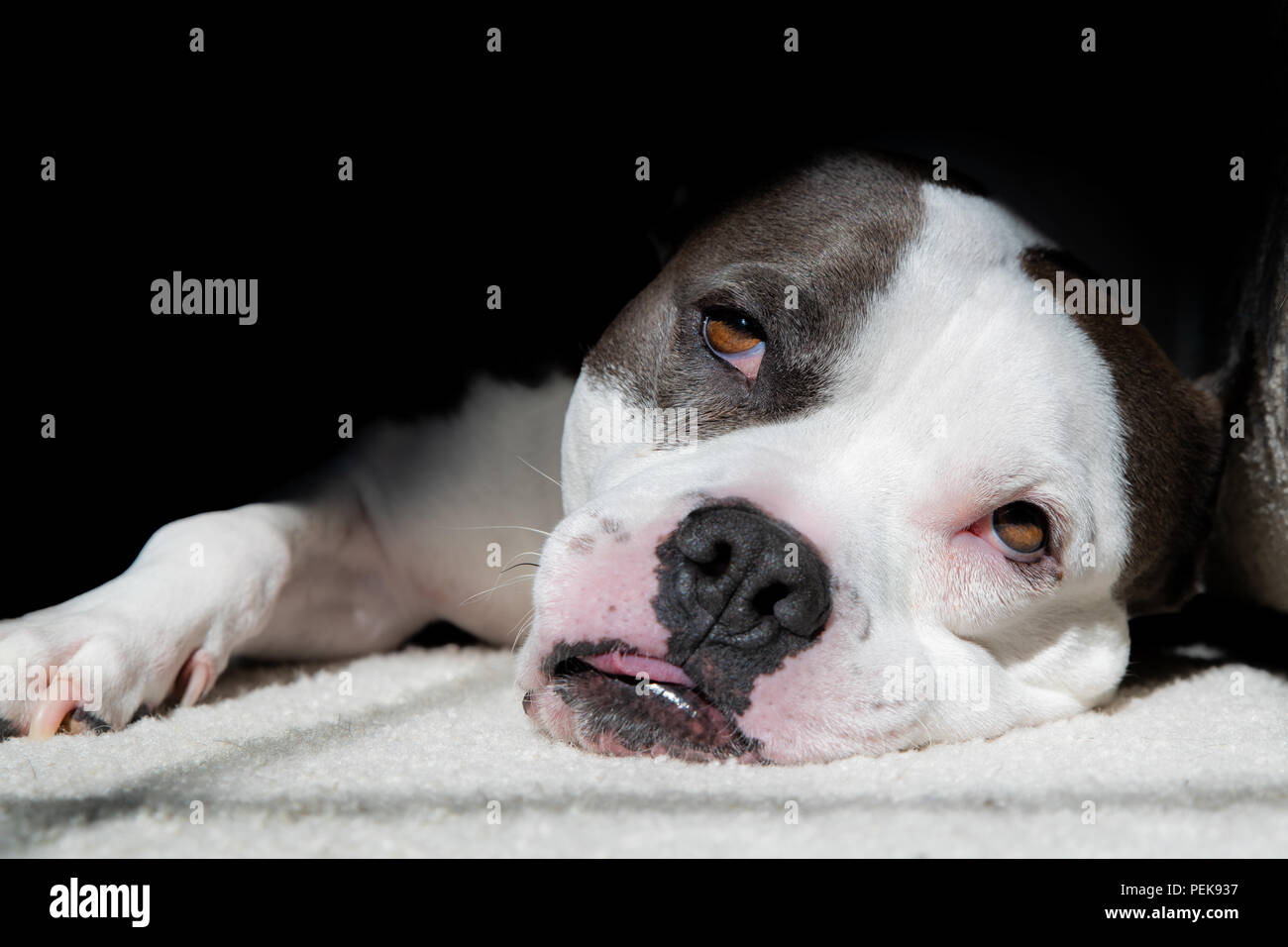 A Staffordshire Terrier Pit Bull Dog Takes a long rest in the sun - Stock Image