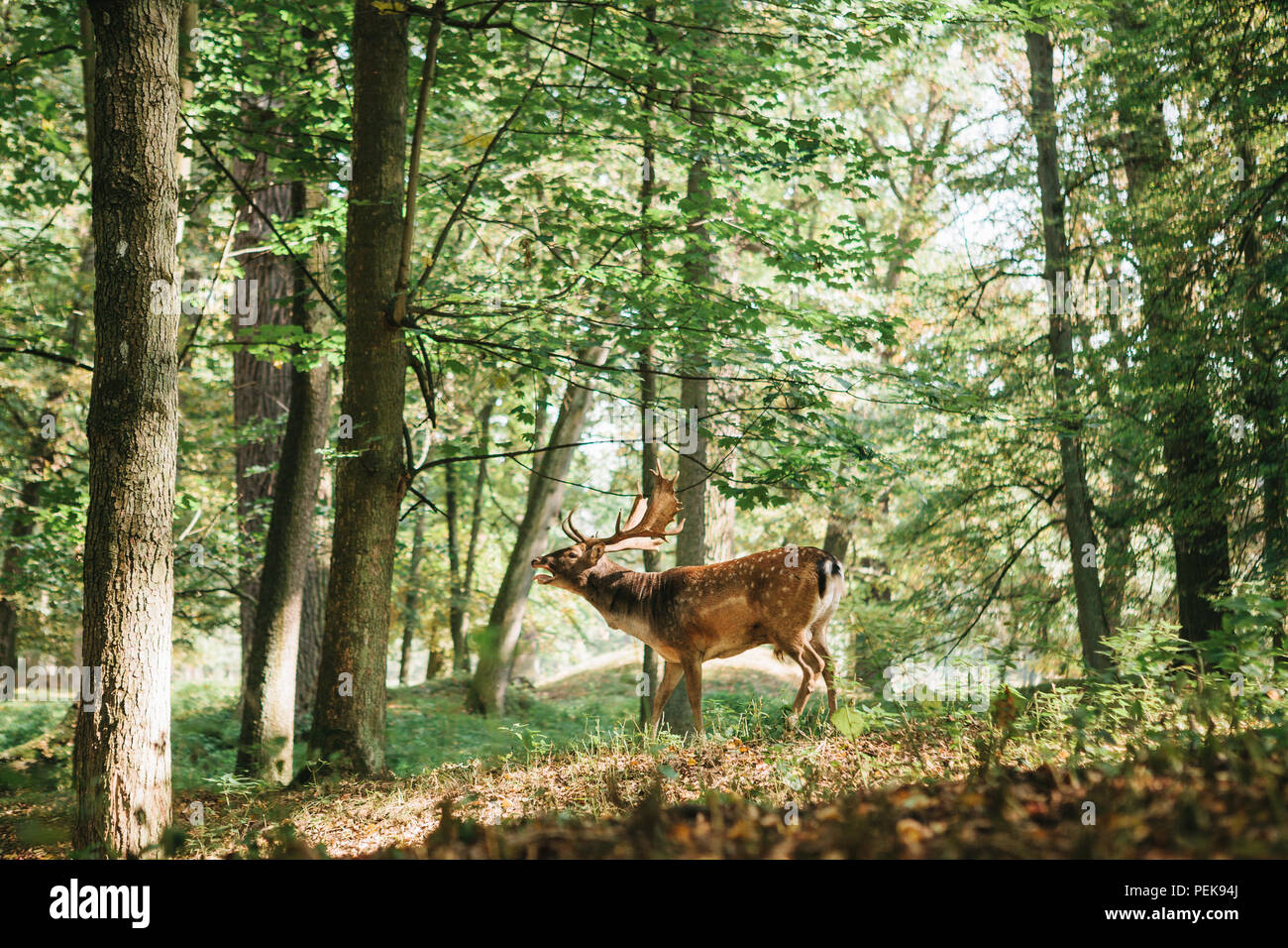 Beautiful deer with branched horns stands on a hill in an autumn forest among trees Stock Photo