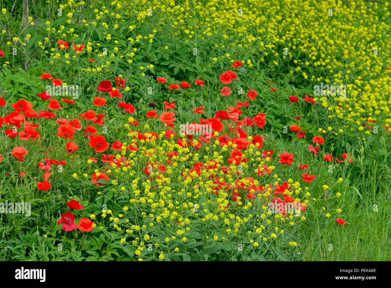 Roadside invasive flowers Red poppies and mustardweed, Blanco, Texas, USA - Stock Image