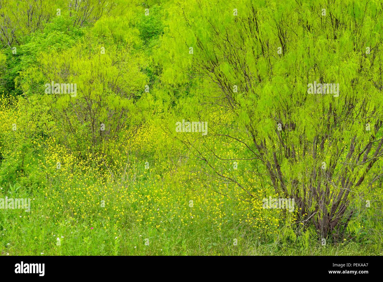 Texas wildflowers in bloom- mustardweed and spring trees, San Antonio, Texas, USA - Stock Image
