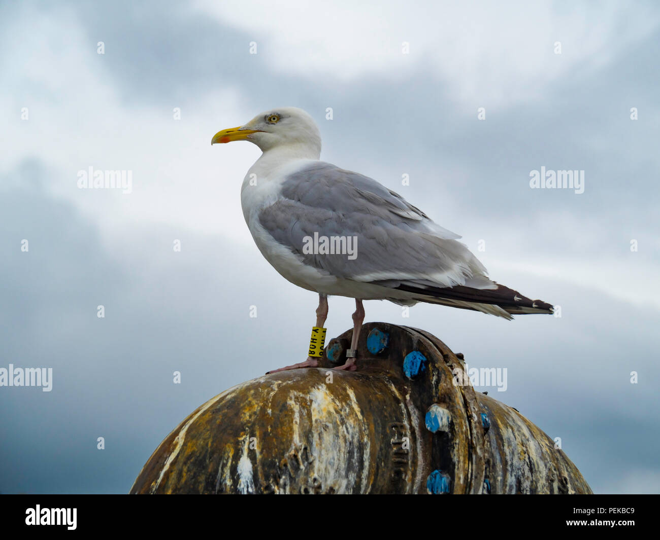 A herring gull Larus argentatus with BTO yellow leg rings Y:H08 in Whitby North Yorkshire England UK Stock Photo