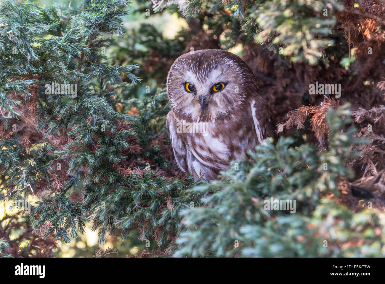 Northern Saw-whet Owl, close up in a tree, one - Stock Image