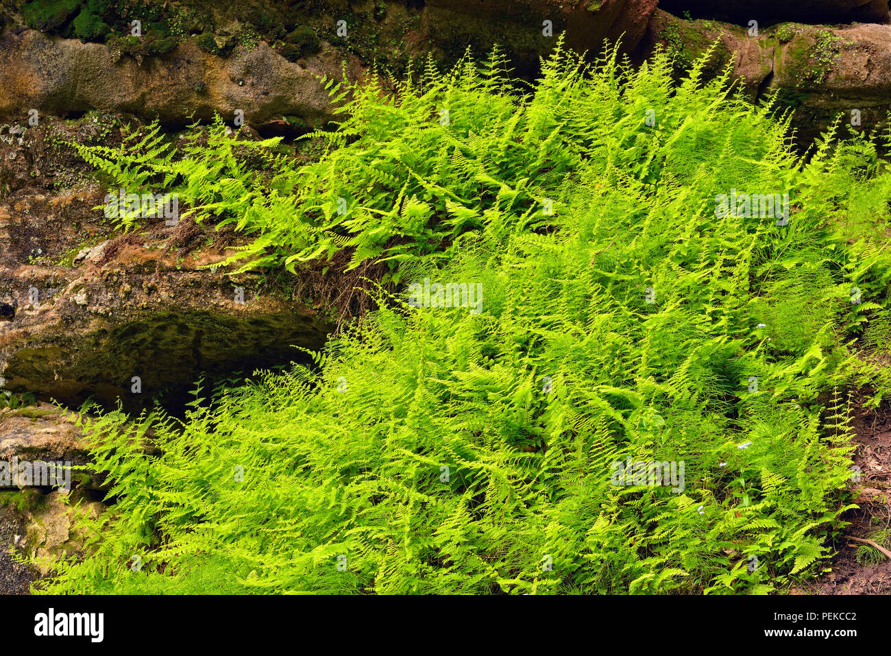 Wood ferns growing on sandstone rock walls in the Tannery Creek canyon, Alger County, near Munising, Michigan, USA Stock Photo