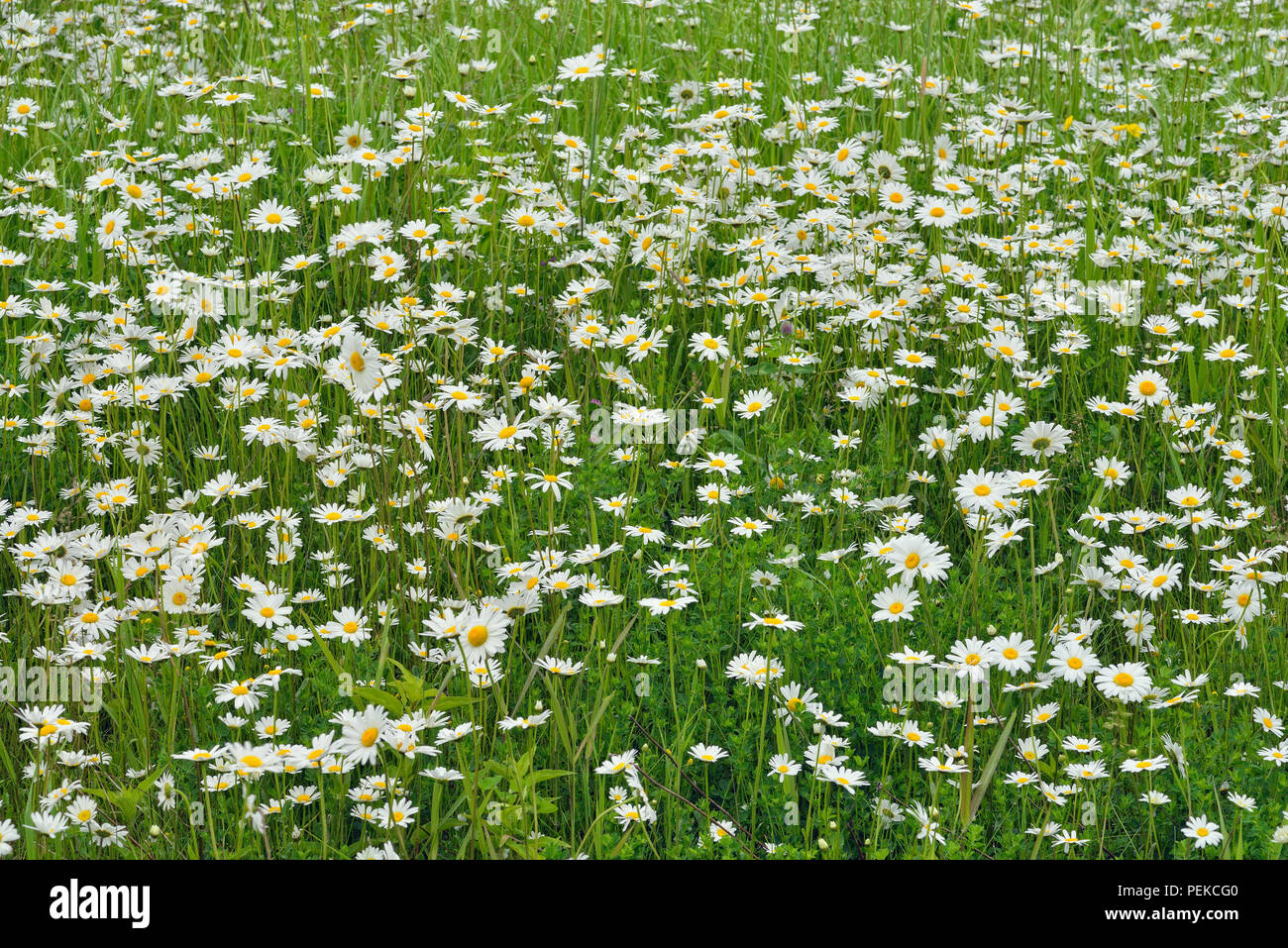 A patch of Oxeye daisy (Leucanthemum vulgare), Hwy 63 near Ashland, Wisconsin, USA - Stock Image