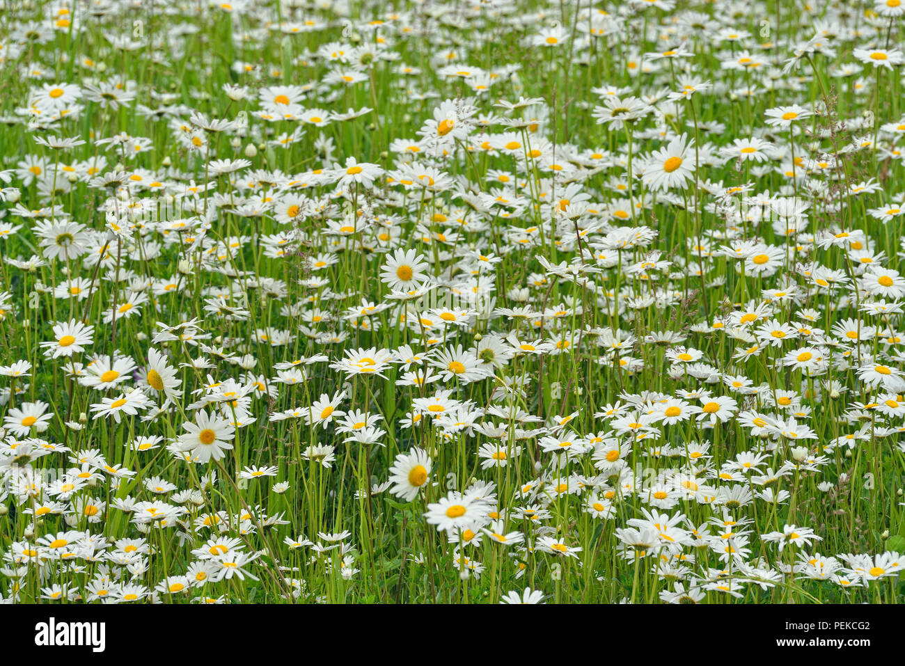 A patch of oxeye daisies, Hwy 63 near Ashland, Wisconsin, USA - Stock Image