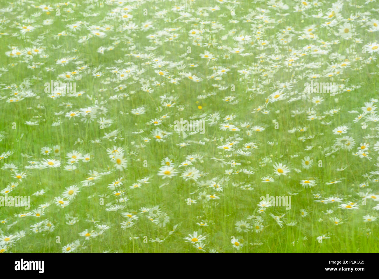 A patch of Oxeye daisy (Leucanthemum vulgare)- multiple exposure, Hwy 63 near Ashland, Wisconsin, USA - Stock Image