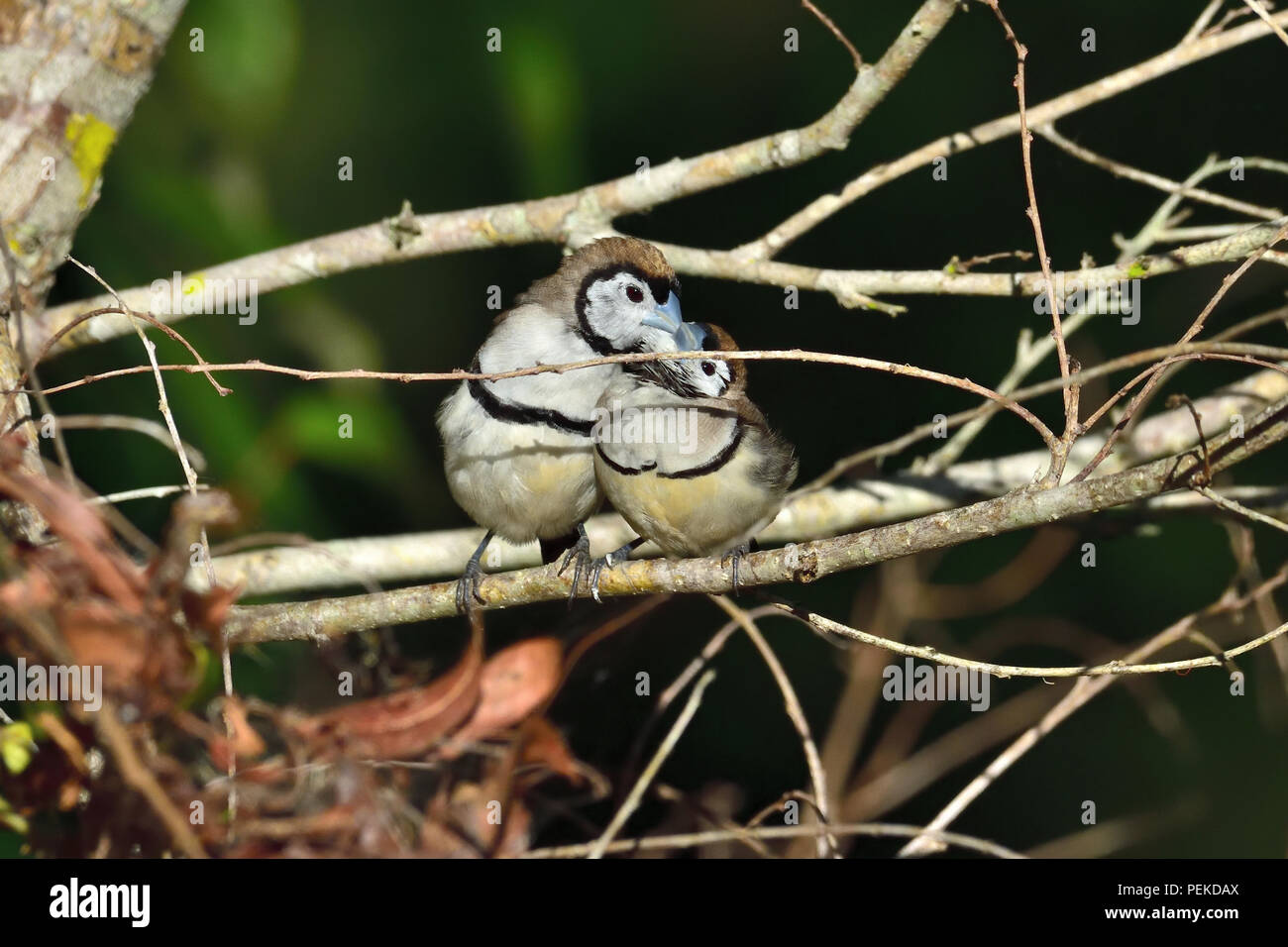 Two Australian, Queensland Double-barred Finches ( Taeniopygia bichenovii ) taking turns at preening each other - Stock Image