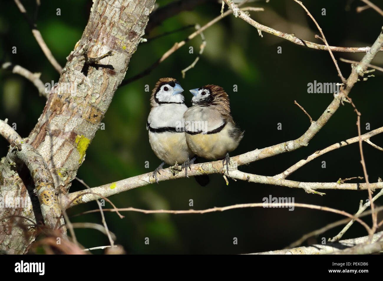 Two Australian, Queensland Double-barred Finches ( Taeniopygia bichenovii ) looking at each other Stock Photo