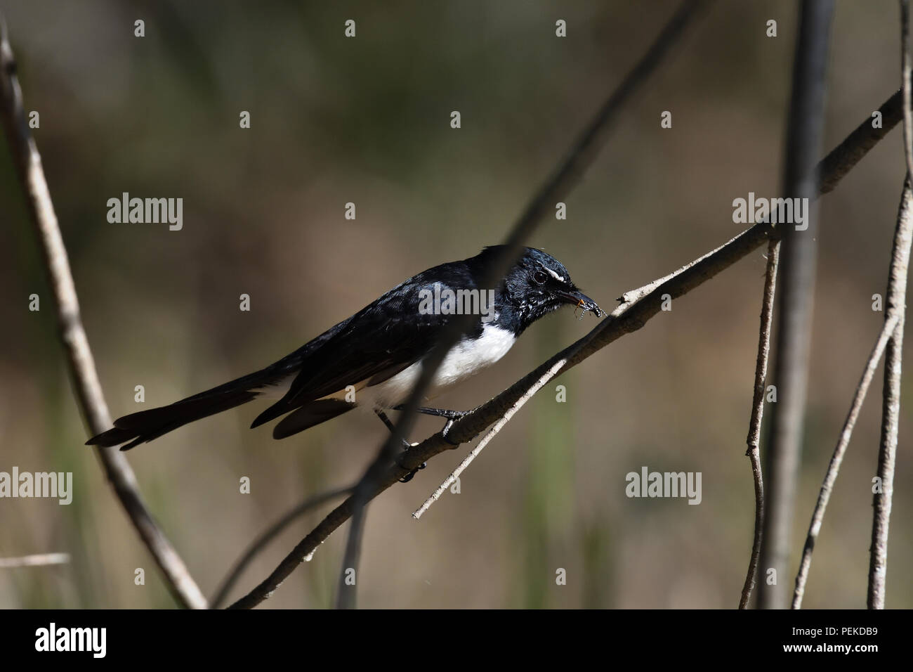 An Australian, Queensland Willie Wagtail ( Rhipidura leucophrys ) about to eat a Spider Stock Photo