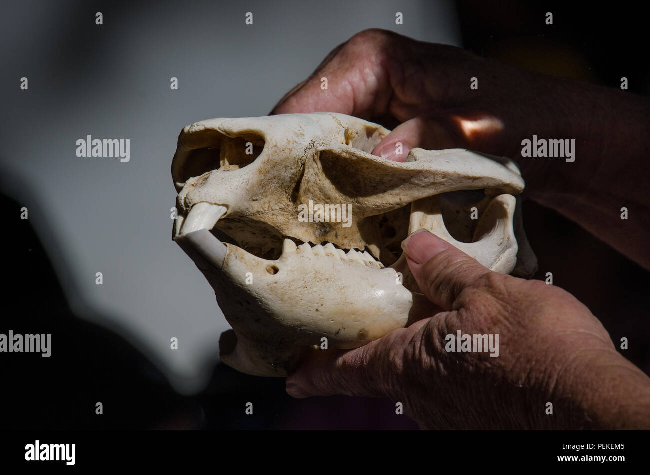 Wombat skull held in hands as it is displayed to kids during outdoors school holiday educational program on native Australian animals. - Stock Image