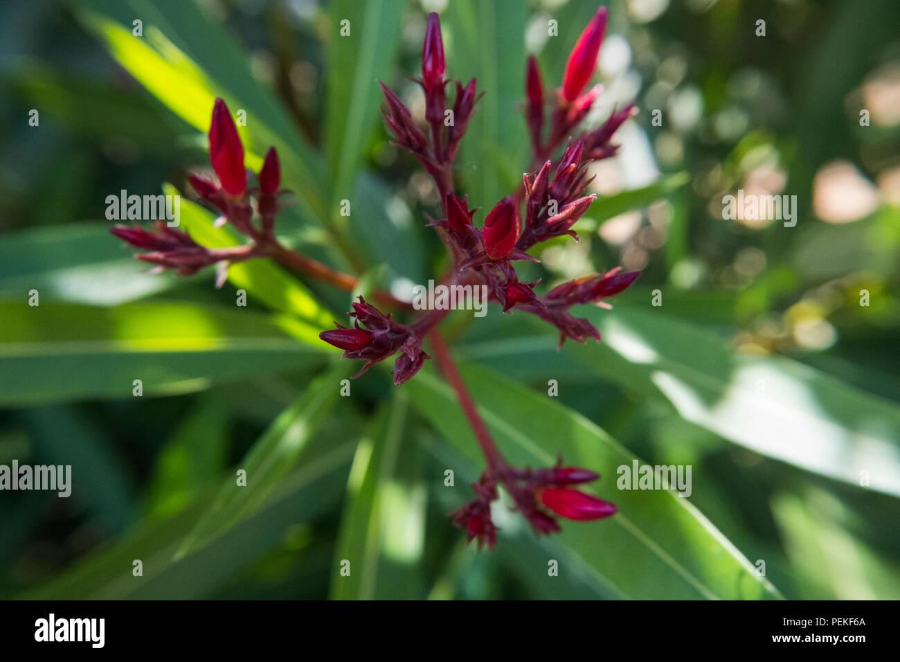 Buds Of Red Nerium Oleander Flower In A Green Garden Beautiful