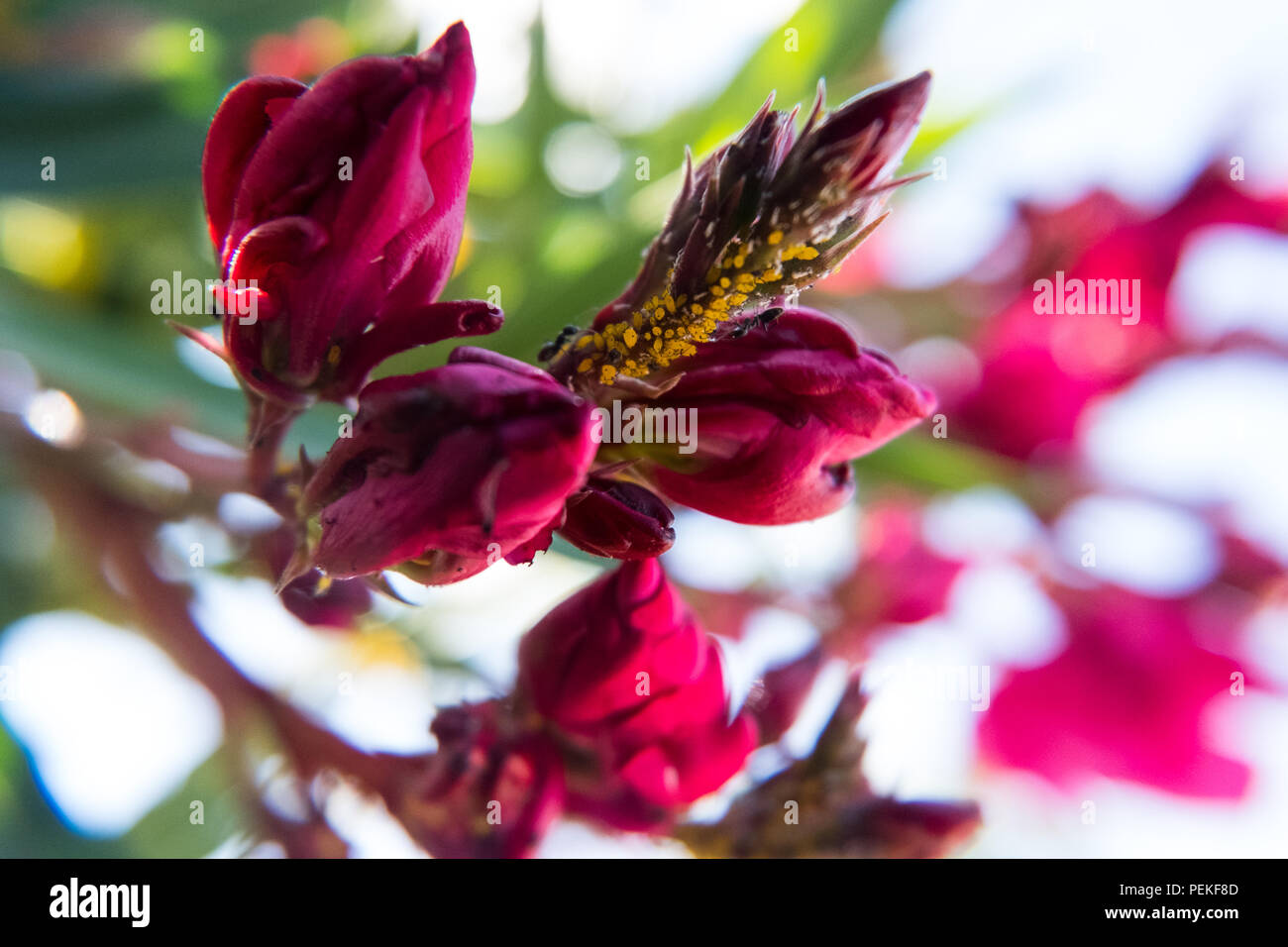 Blooming Red Nerium Oleander Flower And Buds In A Green Garden