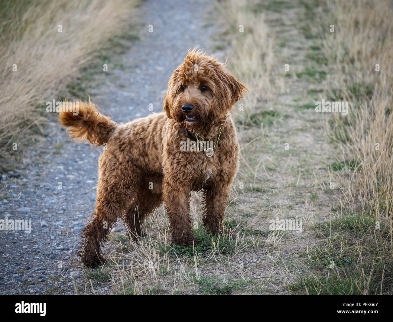 Red haired Cockapoo dog resting during play on a countryside track - Stock Image