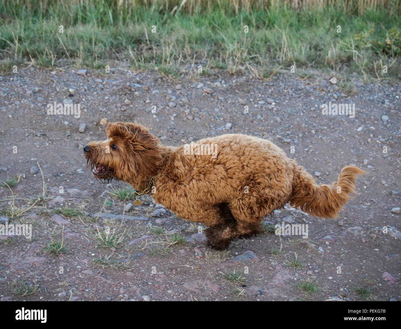Red haired Cockapoo dog at exercise and play countryside - Stock Image