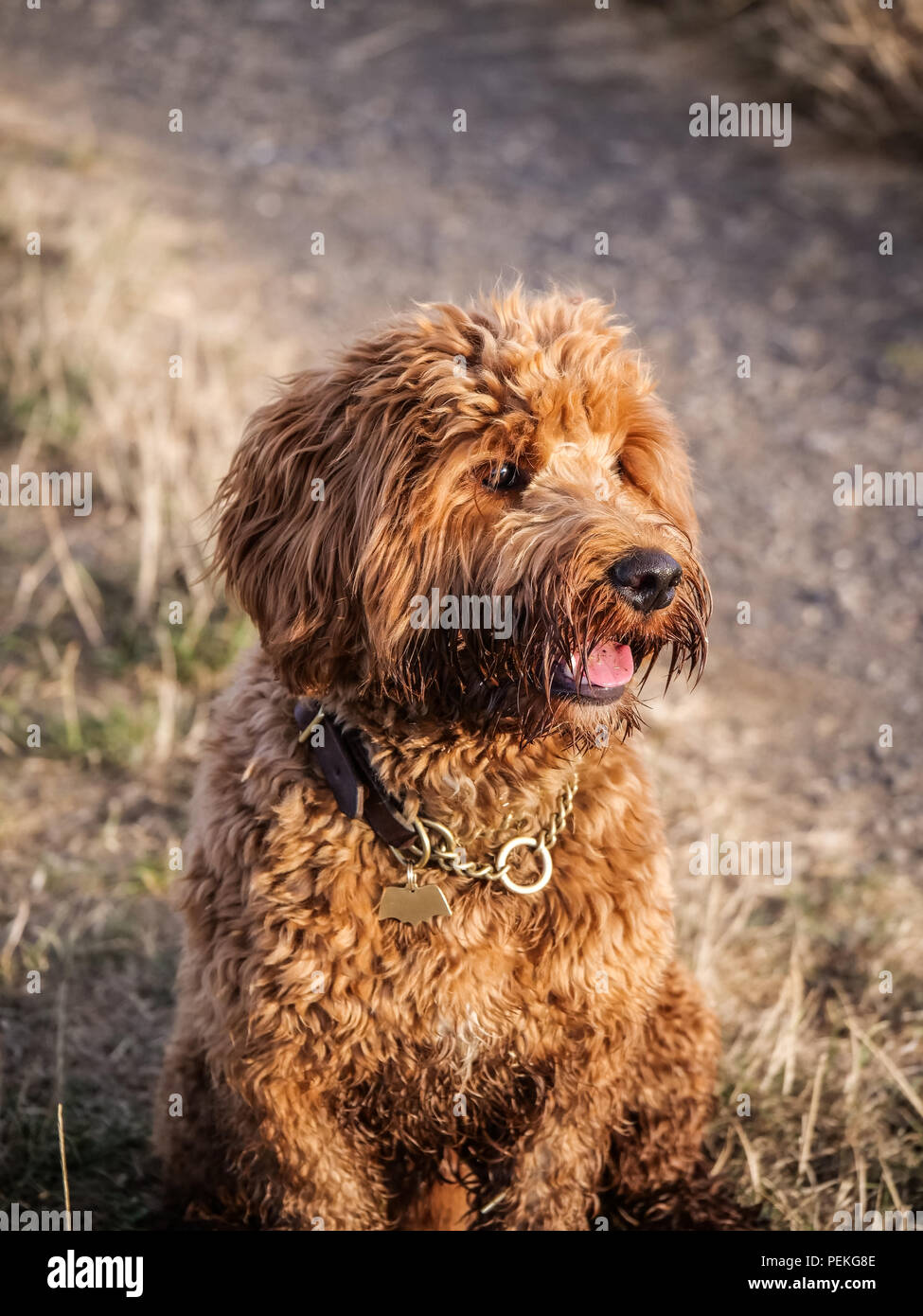 Red haired Cockapoo dog at play in the countryside - Stock Image