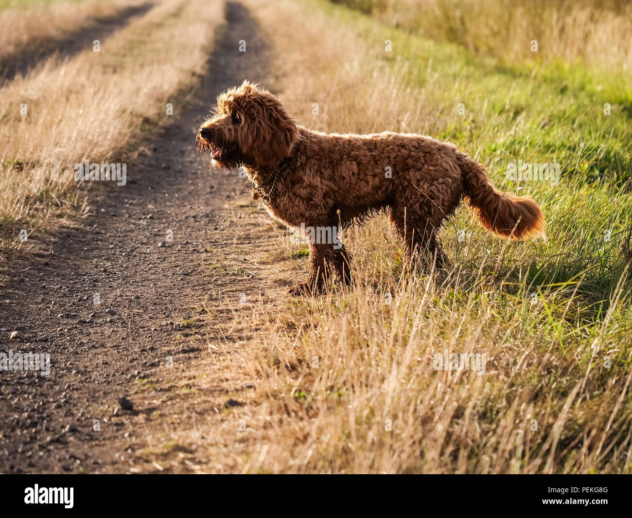 Red haired Cockapoo dog on dusty track alert and watching - Stock Image