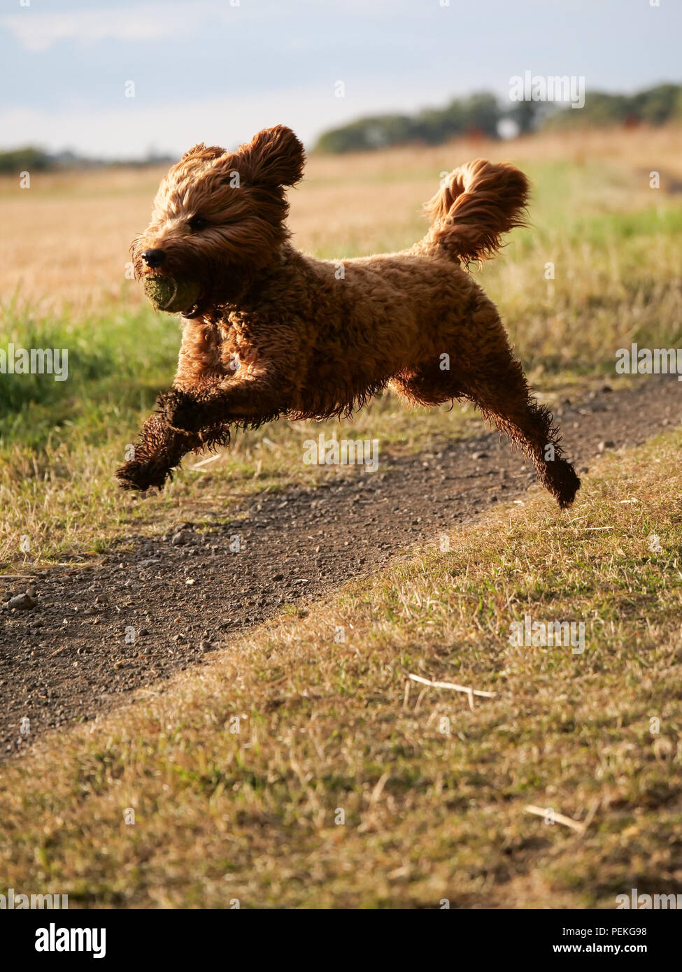 Red haired Cockapoo dog leaping during play in the countryside, UK - Stock Image