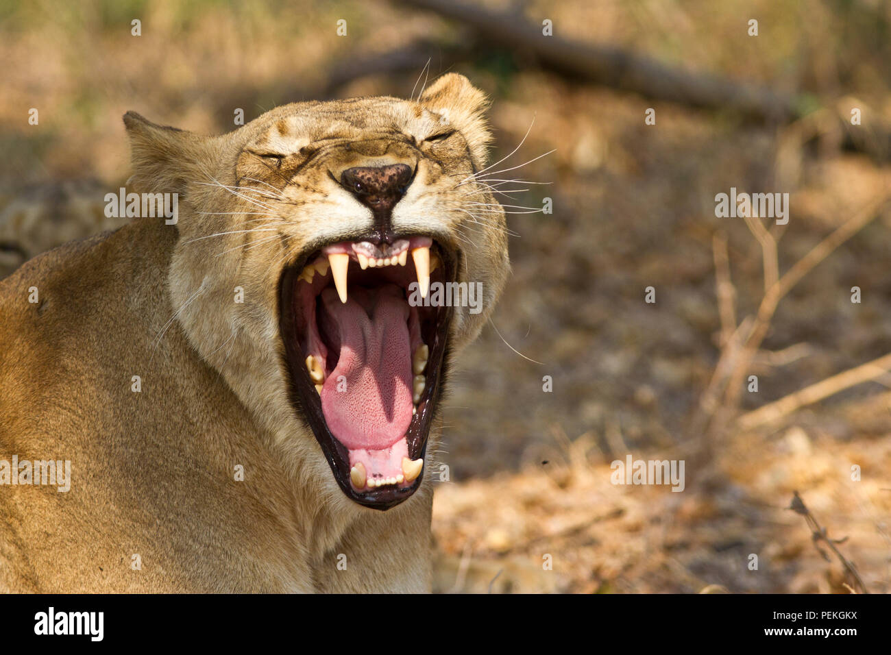 A lioness yawns while resting during the heat of the day in the riverine woodlands close to the Katuma River. - Stock Image