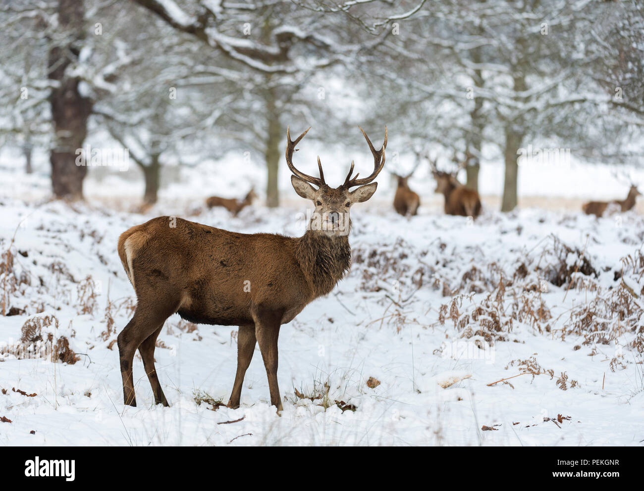 Red Deer Stag in the snow Richmond Park United Kingdom - Stock Image