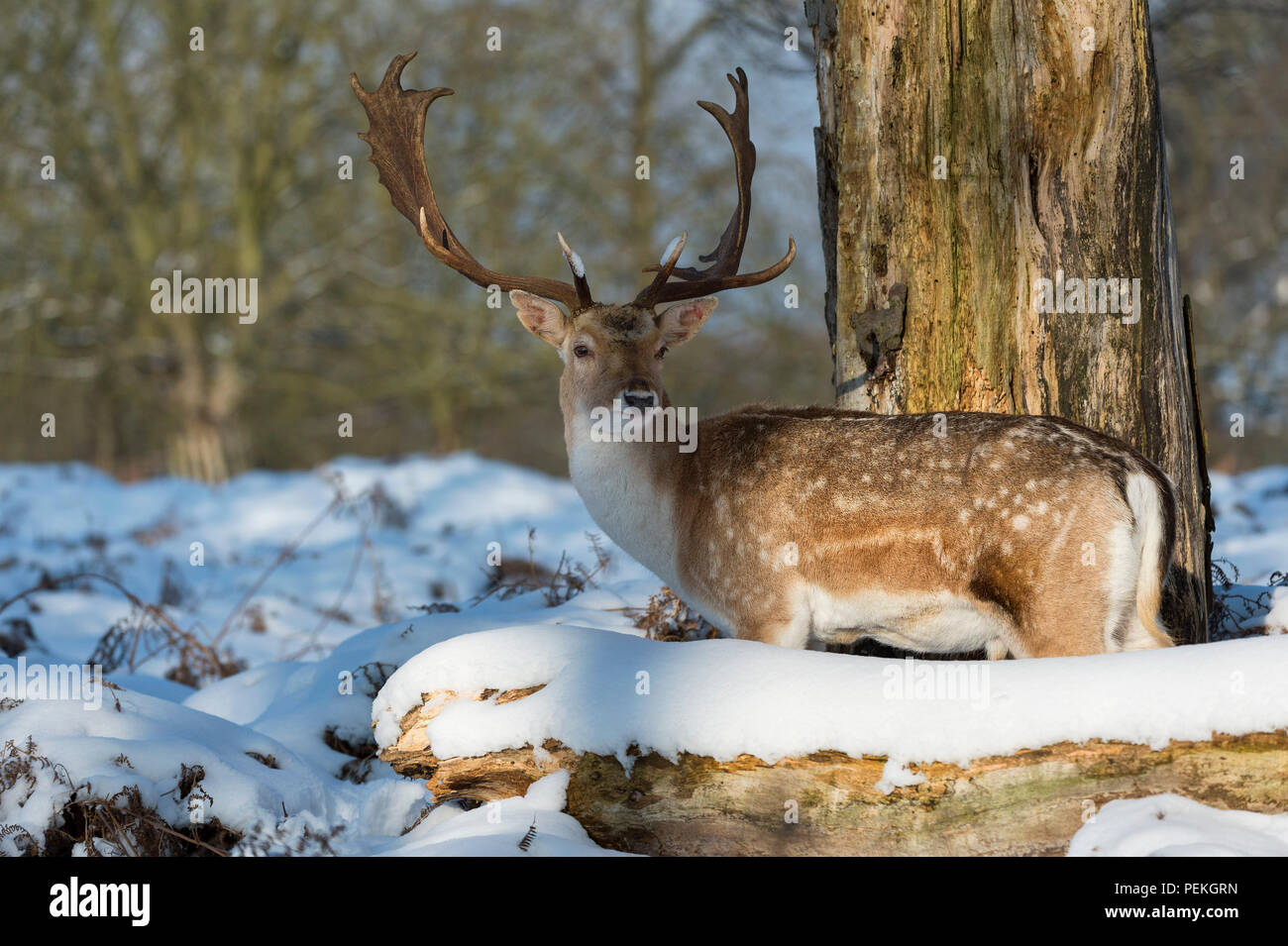 Fallow Deer Stag in the snow Richmnnd Park United Kingdom - Stock Image