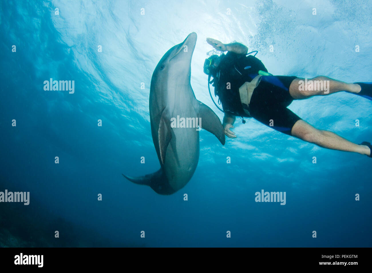 Diver (MR) and bottlenose dolphin, Tursiops truncatus, on the reef outside The Curacao Sea Aquarium, Curacao, Caribbean. - Stock Image