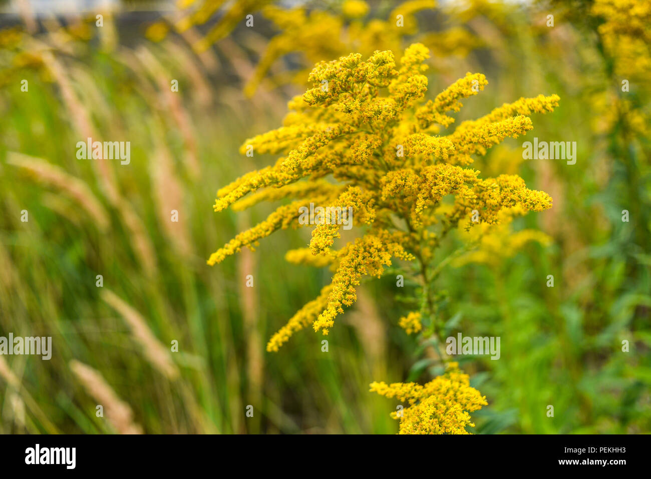Goldenrod blooming in summer on the meadow. Stock Photo