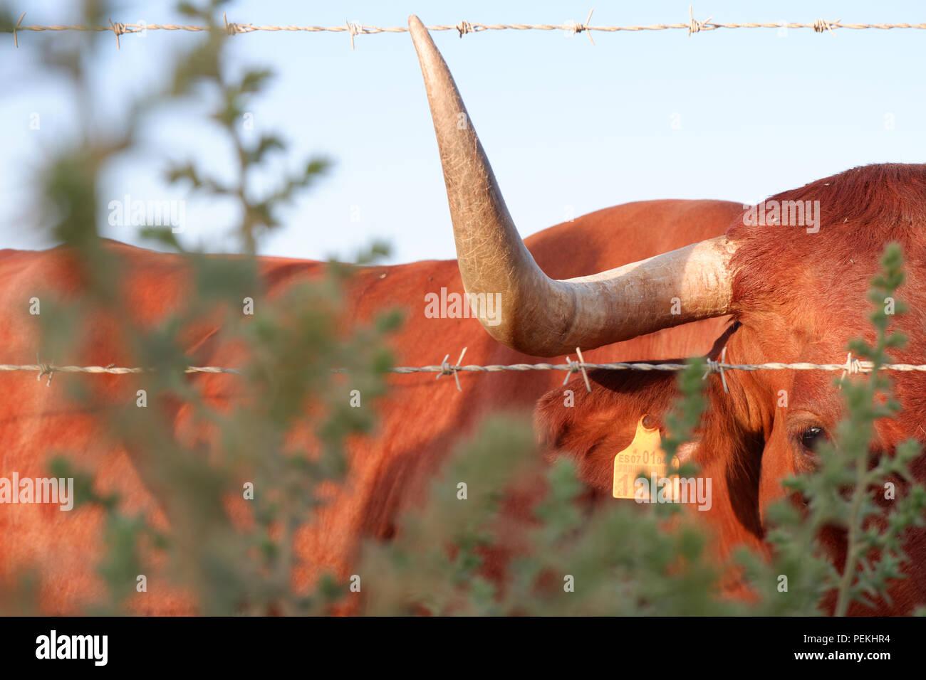 Cow, Conil de la Frontera, Andalucía. - Stock Image