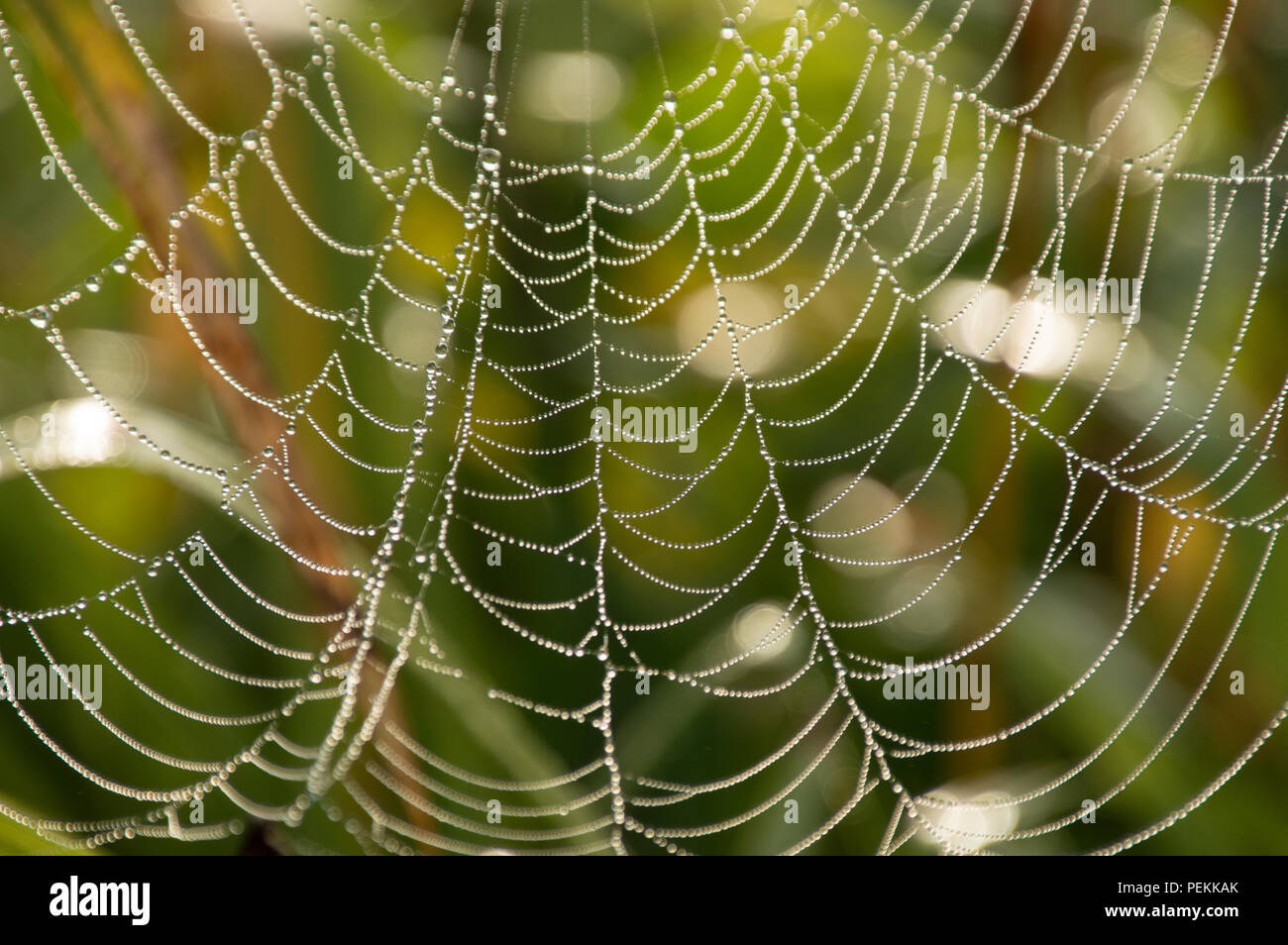Dew covered cobwebs at dawn in a cool summer morning - Stock Image
