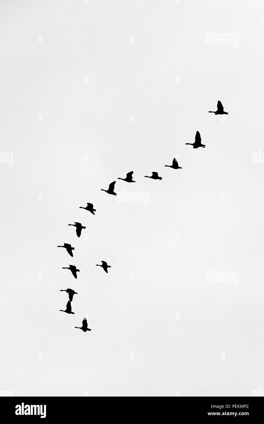 A skein of Canada Geese Branta canadensis flying in a V formation seen in silhouette. - Stock Image