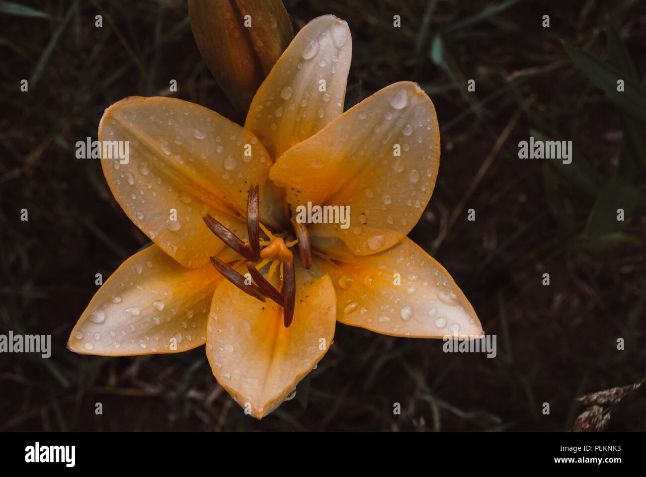 Macro shot of subtropical colorful bright orange and yellow lily flower with Drops of dew, blurry green background, summer lilie garden. Stock Photo