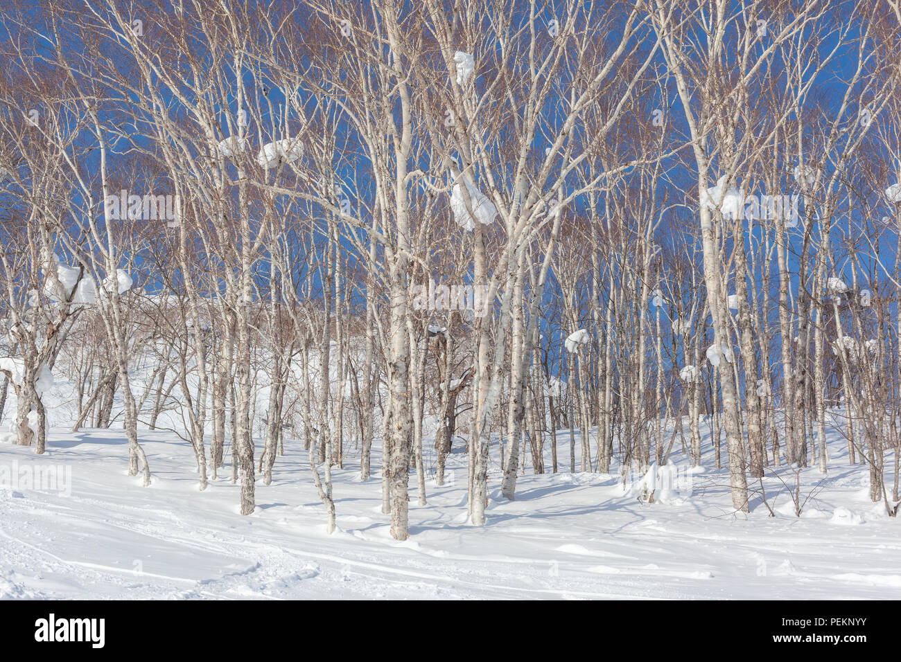 Silver birch trees with large lumps of snow up amongst the branches - Stock Image