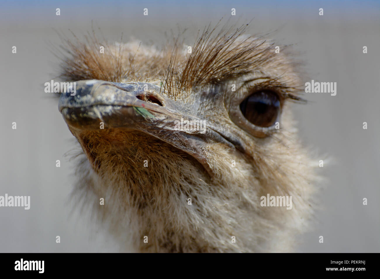 The head of an ostrich close-up on a blurred background. Red beak, surprised big eyes and tousled bristles. Shallow depth of field. - Stock Image