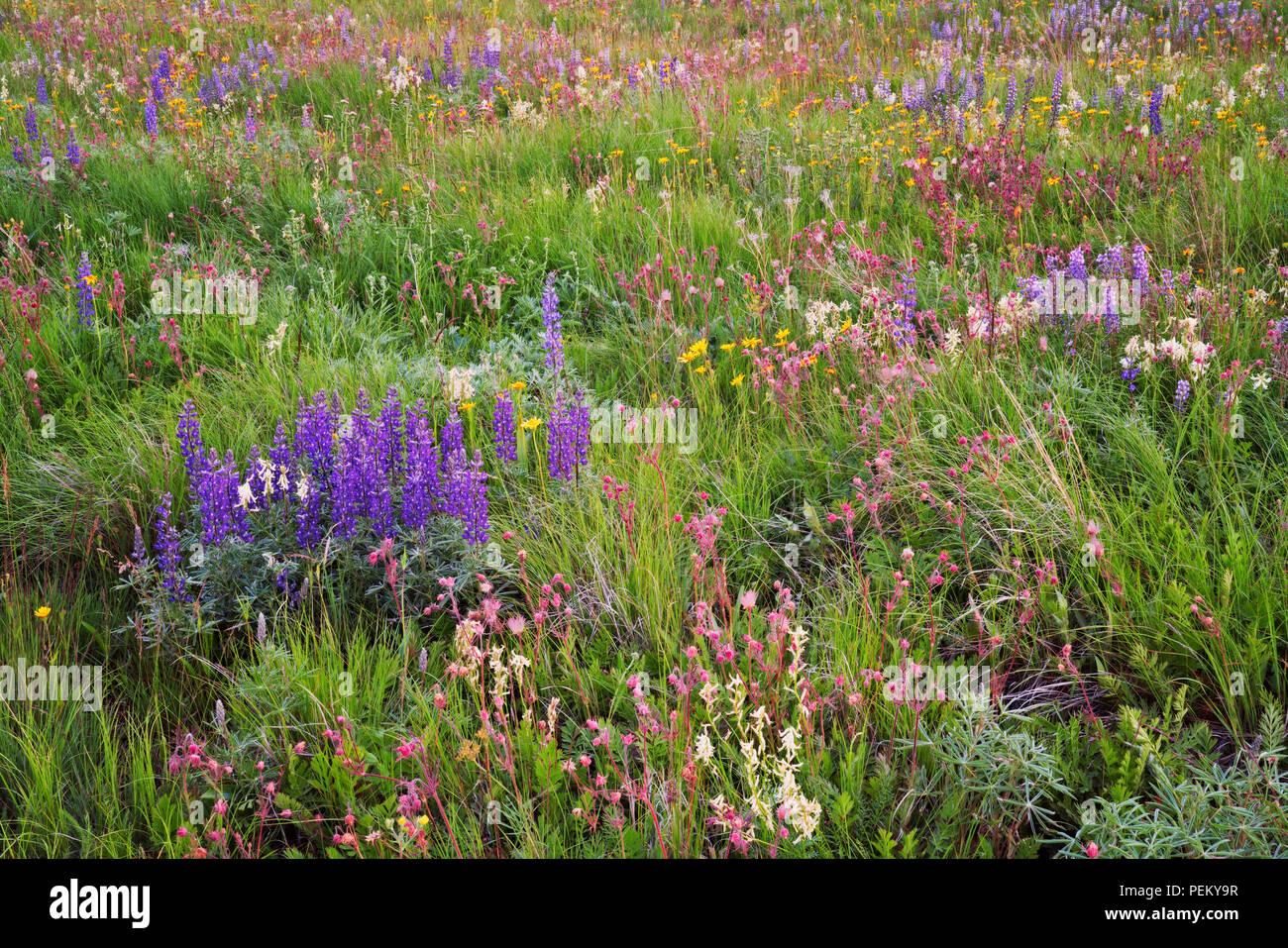 Blooming wildflowers including red Prairie Smoke, purple Lupine, and yellow Oregon Sunshine carpet the Zumwalt Prairie in NE Oregon's Wallowa County. - Stock Image