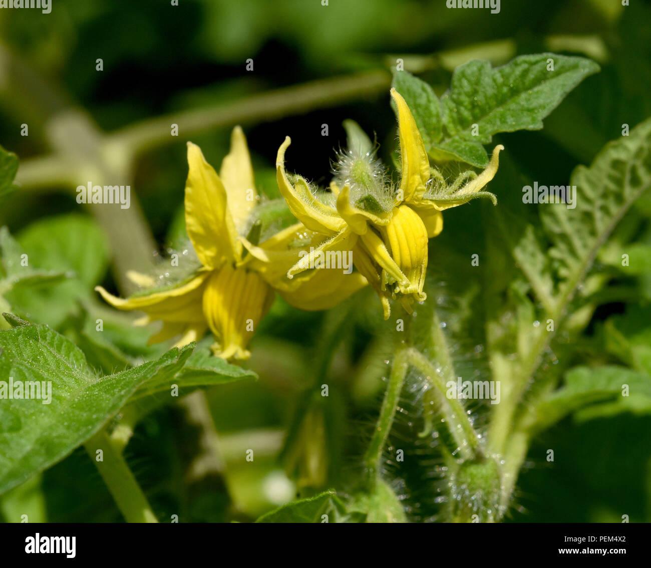 Reisetomate, Bluete, Tomate, Lycopersicon, esculentum - Stock Image