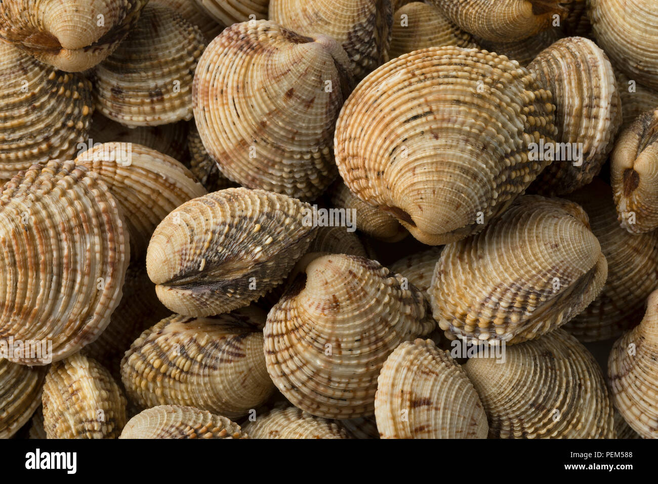 Fresh raw warty venus clams close up full frame - Stock Image