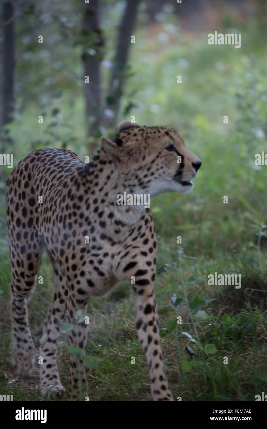 Cheetah large wild cat - Stock Image