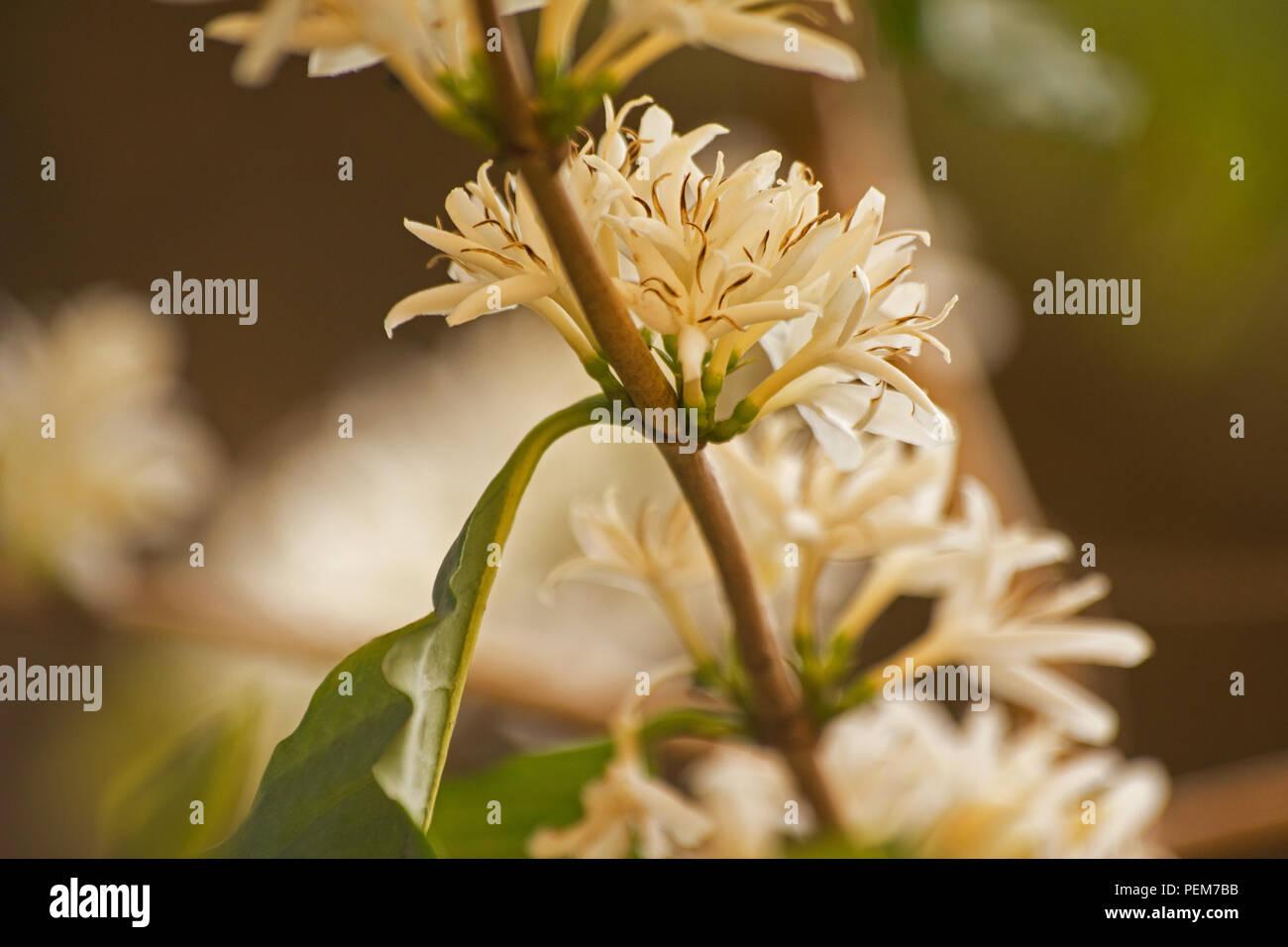 Coffea Arabica plant in flower - Stock Image