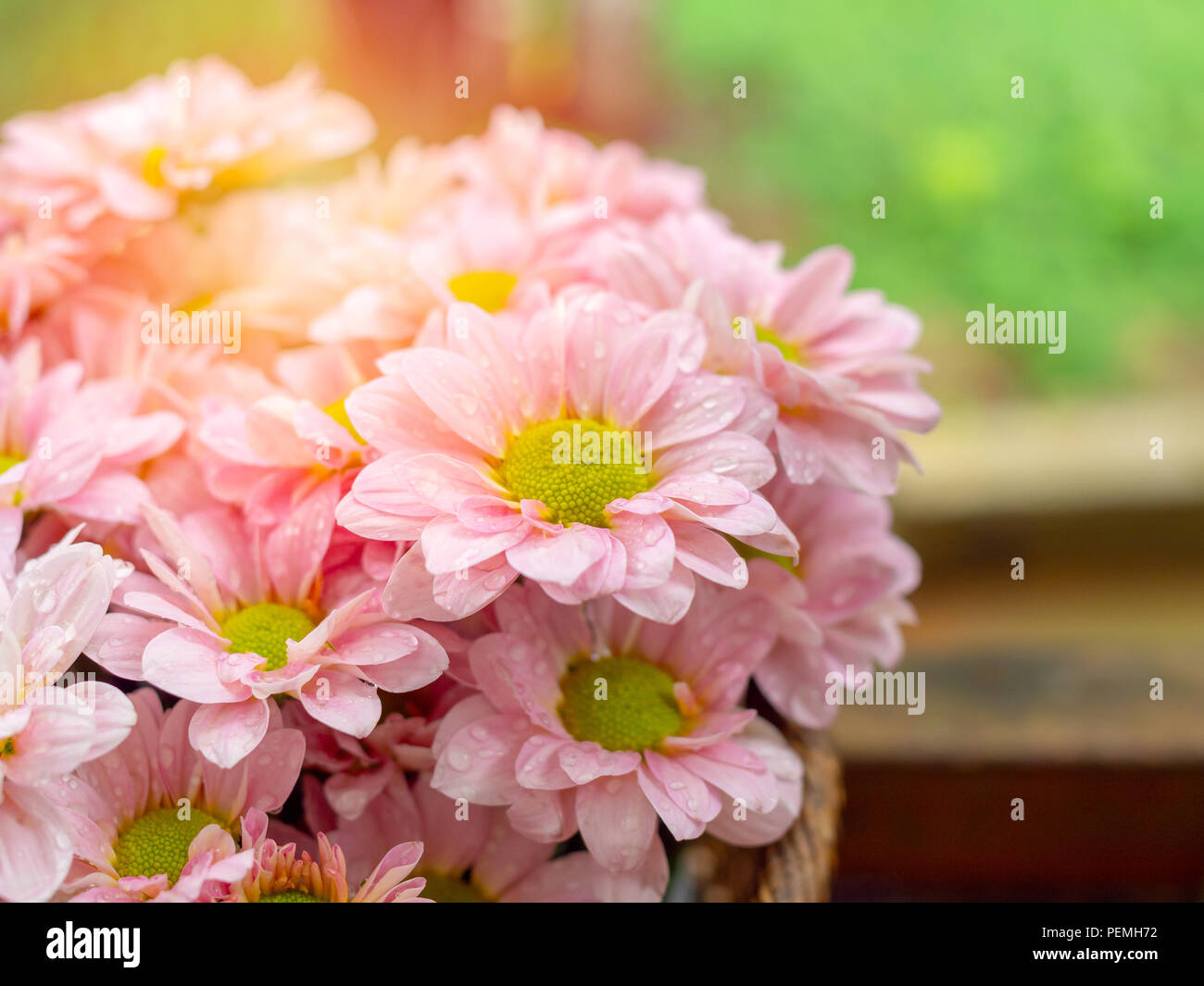 Beautiful Blooming Pink And Yellow Daisy Flowers With Water Drop