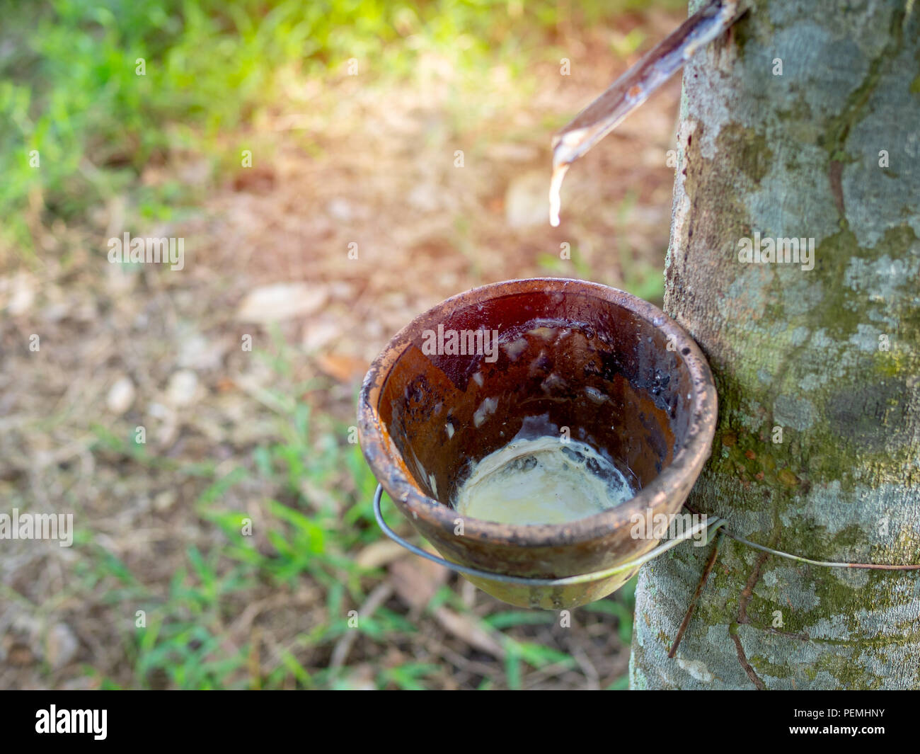 Rubber tree and bowl milky latex. Source of natural rubber.Tapping latex from rubber tree. - Stock Image