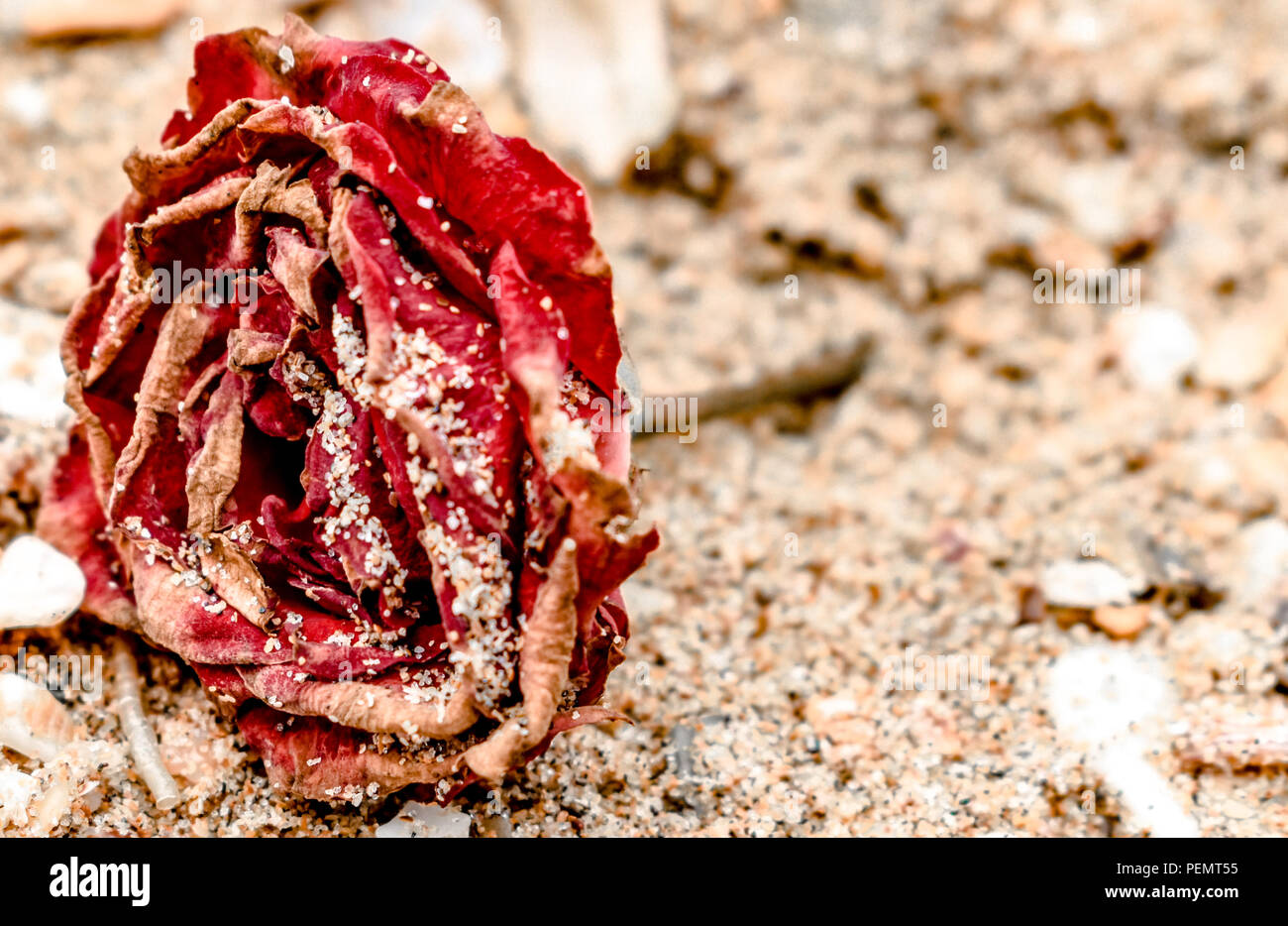 Close up of Dead Rose, red in color, all dried up and lying on the beach, with dry petals covered in sand. like rose on the grave of loved someone. - Stock Image