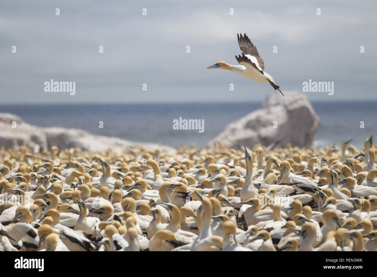 Bird Island Nature Reserve in Lambert's Bay, Western Cape Province, South Africa, is an important breeding site for seabirds, especially Cape gannets. - Stock Image