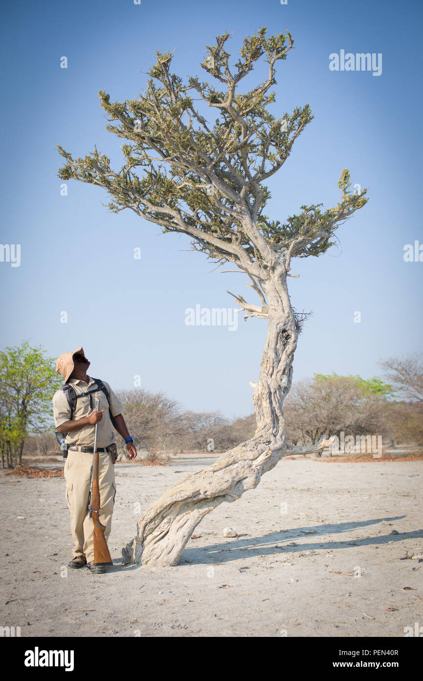 A ranger guides a bush walk and identifies a stink shepherd's tree, Boscia foetida, in Ongava Game Reserve, Kunene Region, Namibia. - Stock Image
