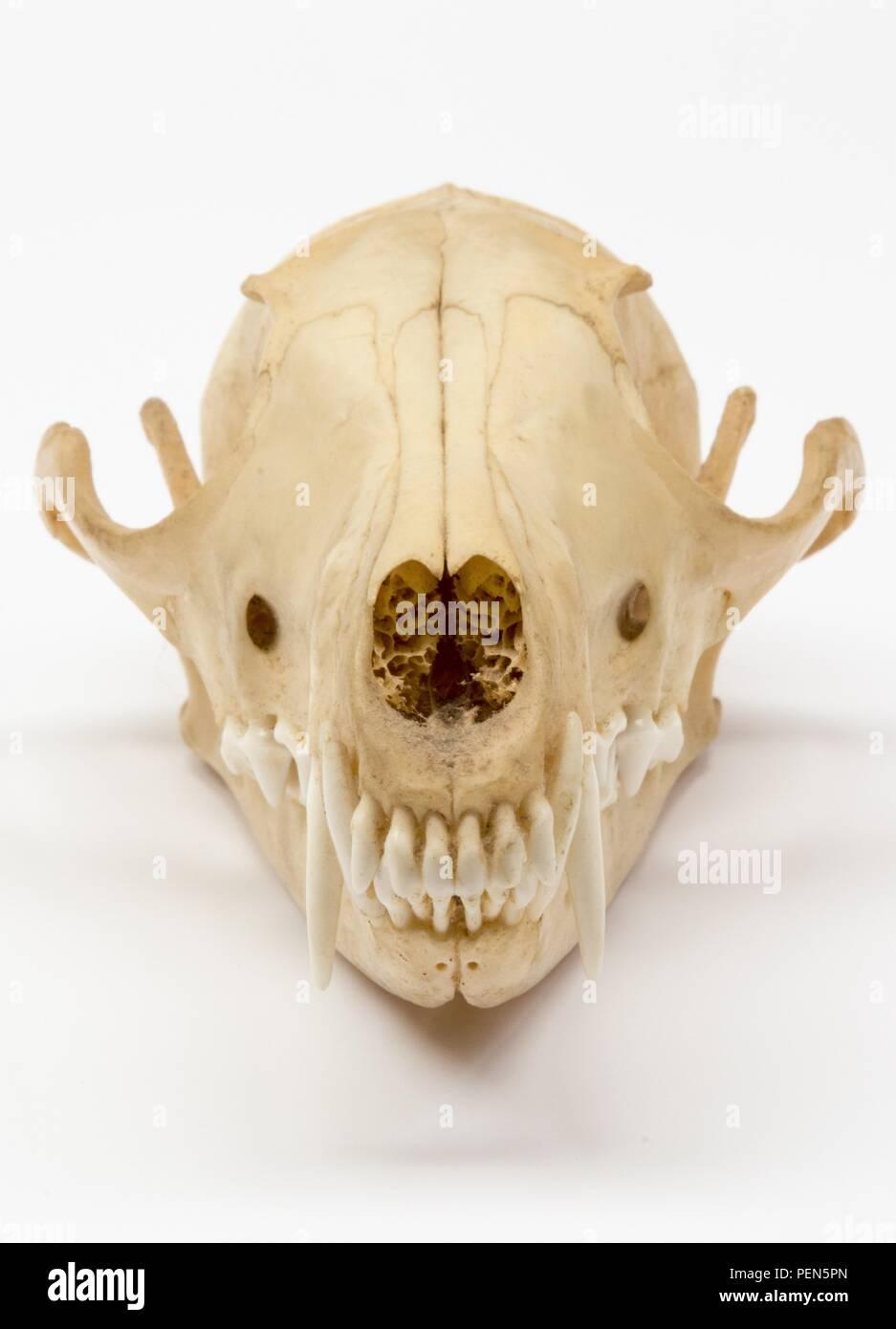 Fuchsschädel auf weißem Hintergrund - von vorne Stock Photo