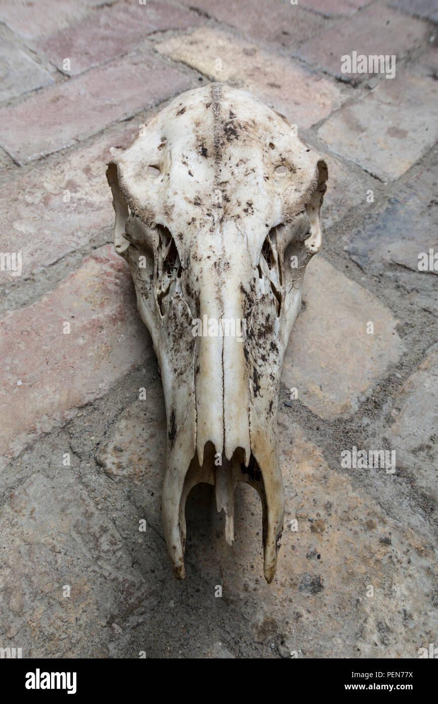 Schädel einer Hirschkuh von vorn Stock Photo