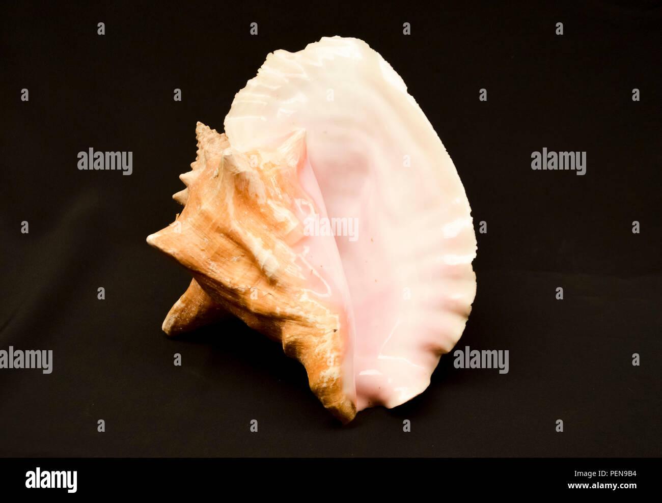 Freigestellte Meeresschnecke mit viel Perlmutt - Stock Image
