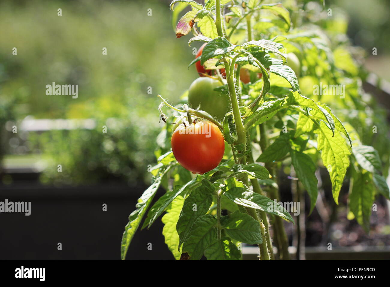 Container vegetables gardening. Vegetable garden on a terrace. Herbs, tomatoes growing in container - Stock Image