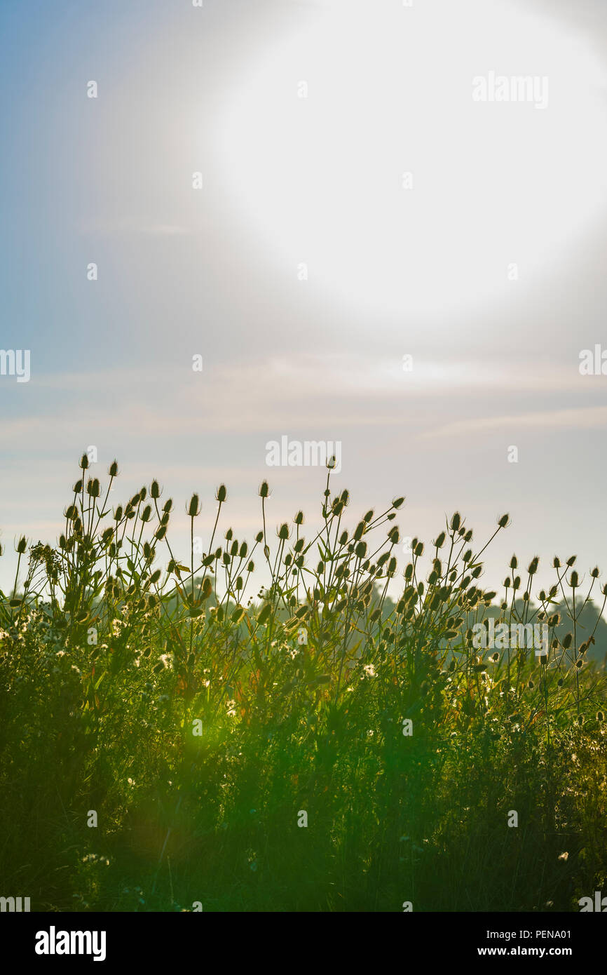 Wild Teasel (Dipsacus fullonum) against a low sun, growing in Summer in West Sussex, England, UK. - Stock Image