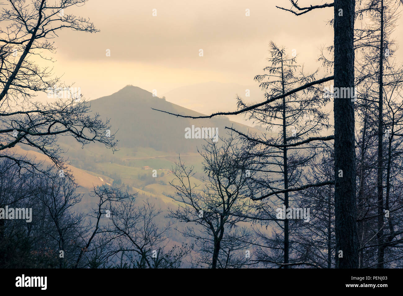 Conifer forest. - Stock Image