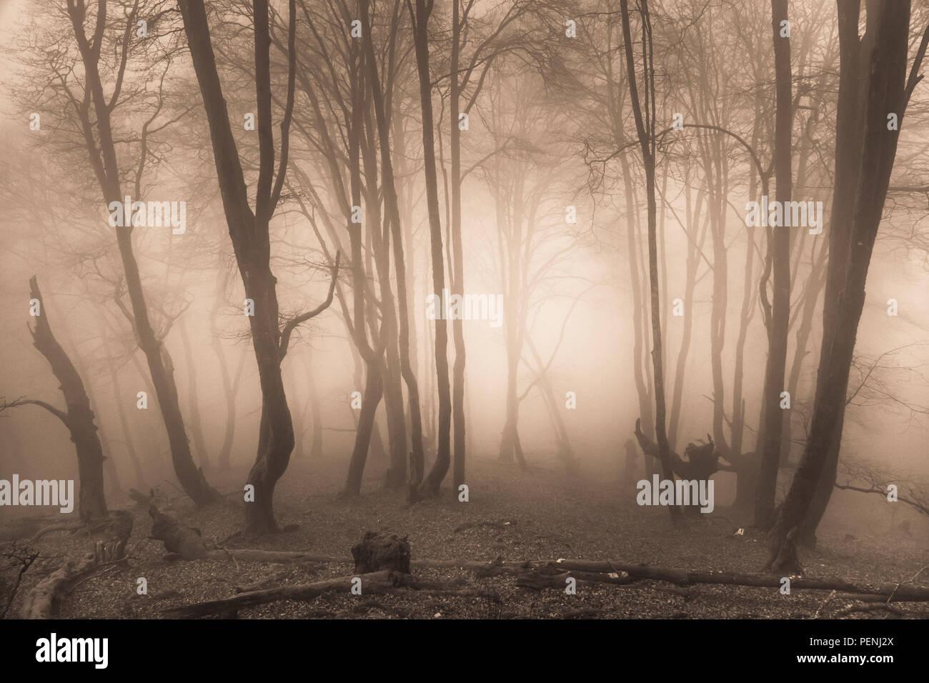 Beechwood in the mist. Stock Photo